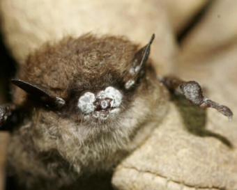 A small bat is pictured with White-nose syndrome.