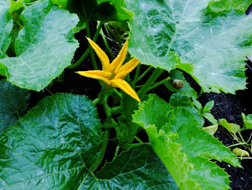 A sugar pie pumpkin flower opens in the early morning sunlight in a North Douglas garden. Visible just to the immediate right is a previously bloomed flower that has fallen onto a leaf and began developing mold. At the far right is a cucumber plant that needs support up off the soil's surface.