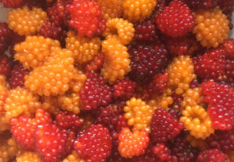 These salmonberries recently picked from North Douglas may be enough for a few pies or a homebrew.
