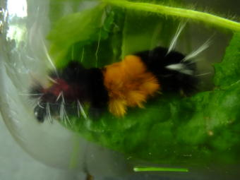 Captured! A woolly bear caterpillar with those irritating white hairs crawls inside a jar shortly before it starts cocooning for the winter.