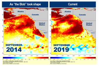 """NOAA maps illustrate the similarities between the 2014 """"Blob"""" and the 2019 heat wave event in ocean temperatures (Map courtesy NOAA)."""