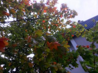 Leaves begin to turn on a Norway maple outside KTOO studios in September 2019. (Photo by Matt Miller/KTOO)