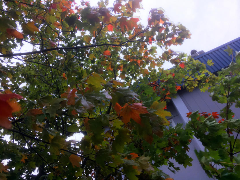Leaves begin to turn on a Norway maple outside KTOO studios in September 2019. (Photo by Matt Miller/KTOO)