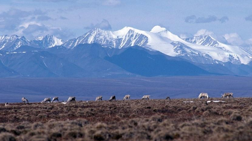 Caribou graze on the coastal plain of the Arctic National Wildlife Refuge, with the Brooks Range as a backdrop in October 2010. (Public domain photo by U.S. Fish and Wildlife Service)