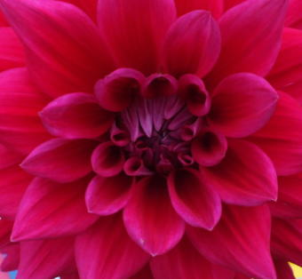 Dahlia (Photo by Matt Miller/KTOO)