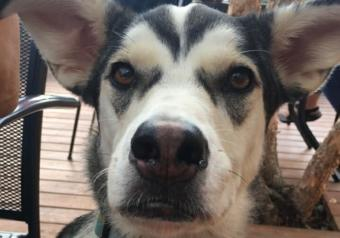 Ruby is a 50-pound husky mix. She was attacked by river otters in Anchorage's Taku Lake the evening of Oct. 9, 2019.