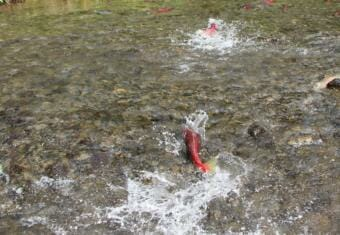 A red sockeye salmon swims in shallow, rocky water.