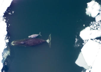 A bowhead whale and a calf in the Arctic on May 29, 2011.