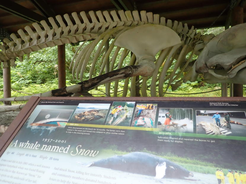 "The reconstructed 45-foot long skeleton of Whale #68 has been on display at the national park's visitor center at Bartlett Cove since 2014. The humpback had been well-known to park staff and visitors alike as ""Snow"" before being killed by a Princes Cruise Lines ship in 2001. (Photo by Jacob Resneck/Coast Alaska)"