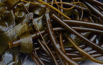 A close up of kelp. (Photo courtesy of the Petersburg Marine Mammal Center)