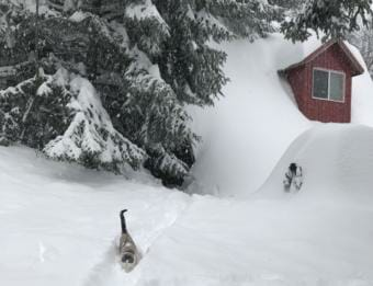 Edna the cat makes her way through deep snow in front of a snow-covered home in Haines. (Beth Douthit)