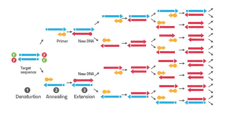 pcr dna amplification Precise amplification of target sequences in applications such as rare variant detection, splice variant discovery, and microbial identification.