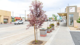 Pink tree in the foreground with flower-filled planters in the background along South Main Street in the City of Bishop.