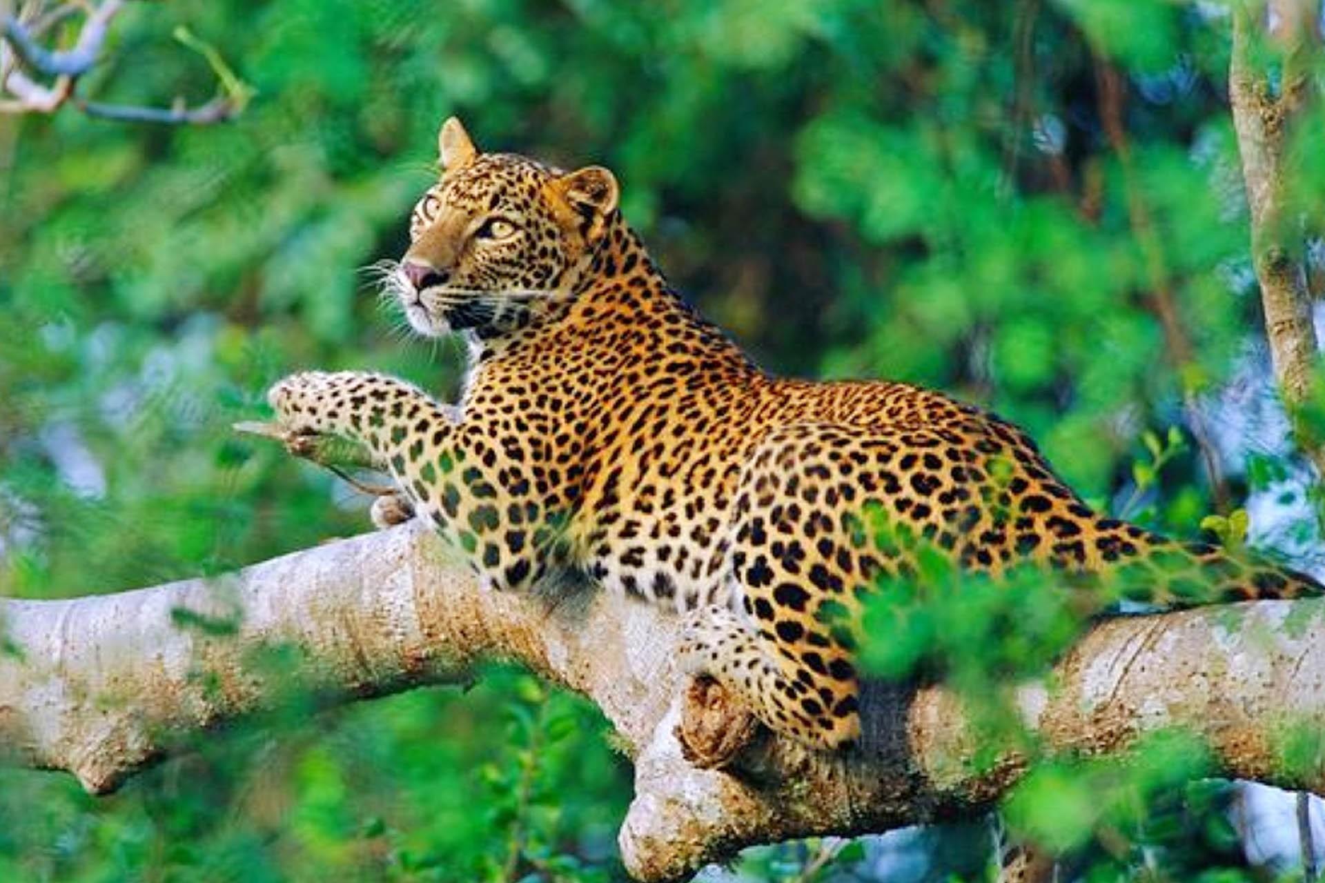 Sri lanka tiger