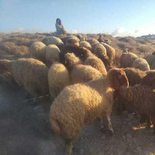 Modern Day Biblical Shepherdesses & Naming our Land of Israel Sheep