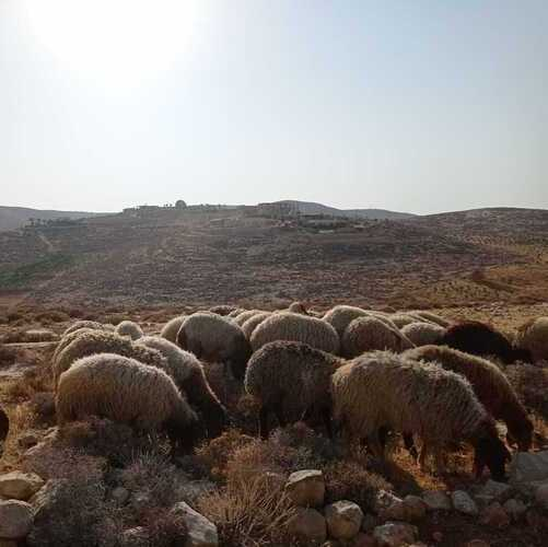 The Unexpected Protectors of Judea - Sheep!