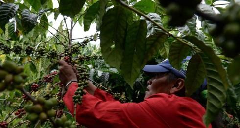 expansión del robusta, café, Nicaragua, cafetaleros