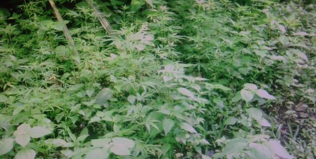 Plantío ilegal de marihuana en Nicaragua. LA PRENSA/Cortesía