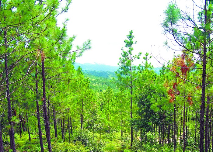La tala del pino en Nicaragua, especialmente en el norte, está causando graves daños ambientales. LAPRENSA/ARCHIVO