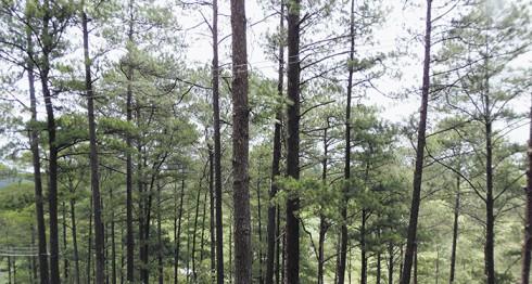 corte de pinos, Nicaragua, bosques de pino en Nicaragua, Daniel Ortega, medioambiente