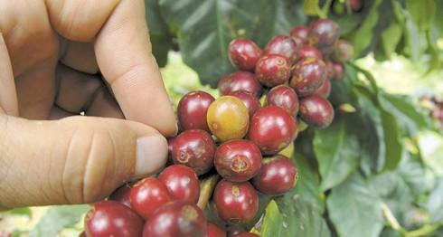 café en Nueva Segovia