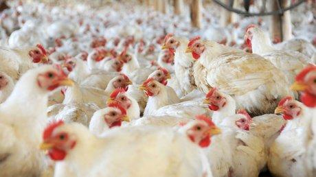 Gripe aviar rusia OMS.jpg