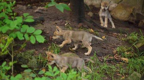 Lobos mexicanos cachorros.jpg