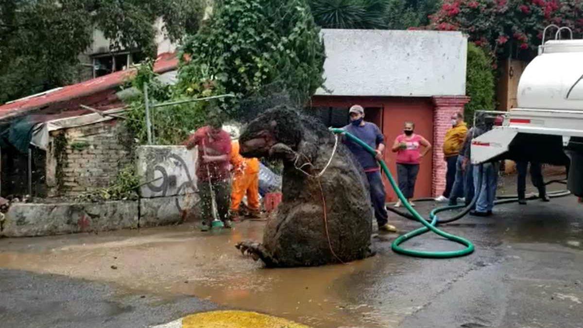 botarga rata gigante.jpg