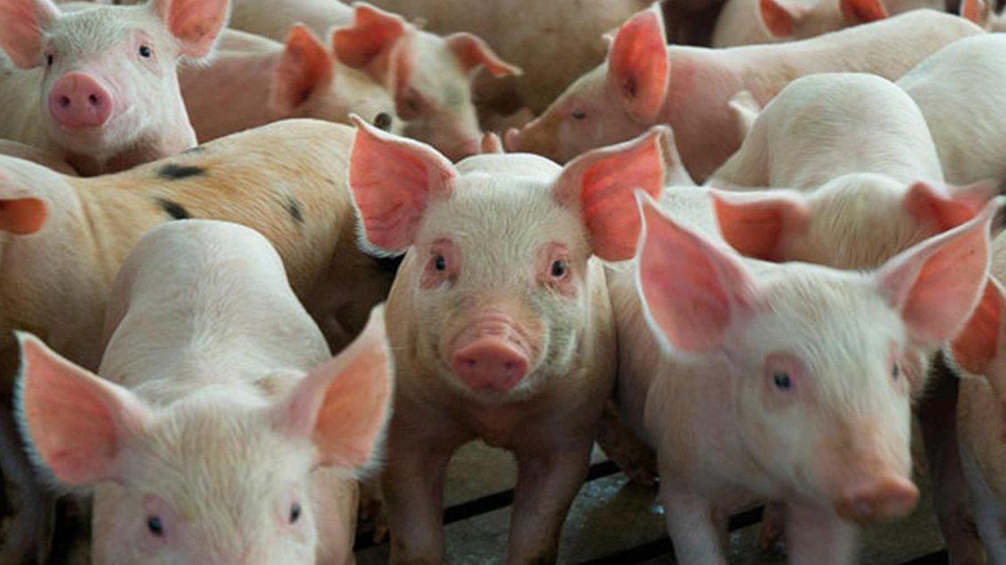 cerdos-3.jpg