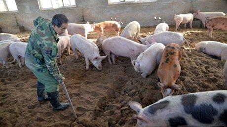gripe porcina en taiwan.jpg