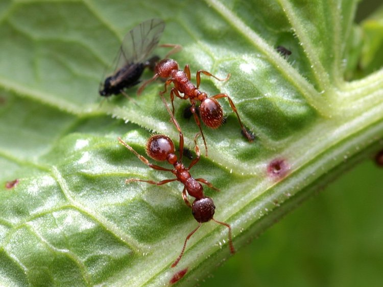 hormiga-roja.jpg
