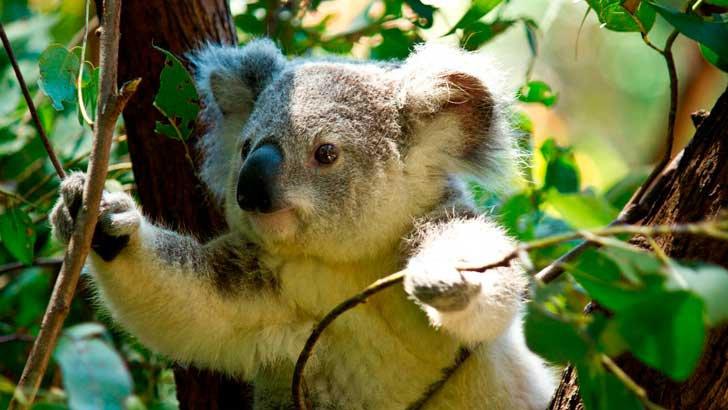 koala-funcionalmente-extinto.jpg