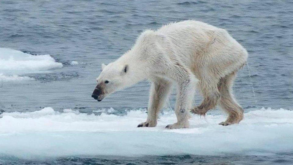 oso polar cambio climático.jpg