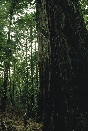 RedwoodMan 300x445.jpg