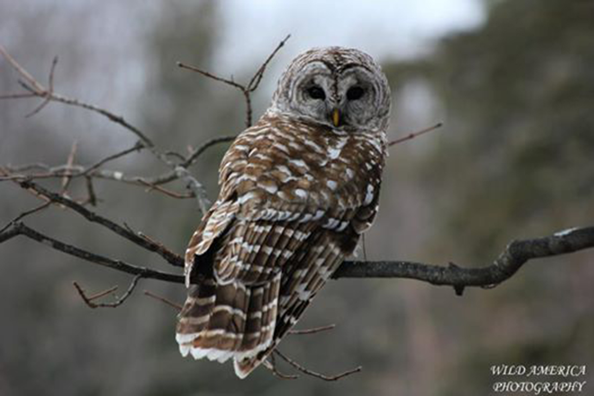 Barred Owl Joshua Eaves.jpg