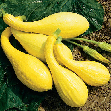 Squash_Yellow Crookneck.png