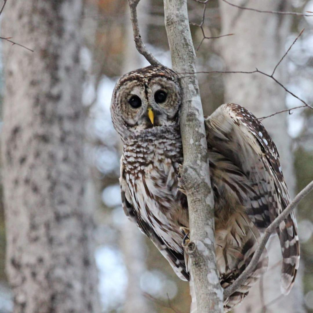 Barred Owl Release.jpg