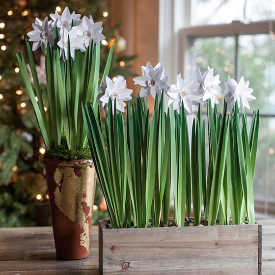 DIY Paperwhites flowers