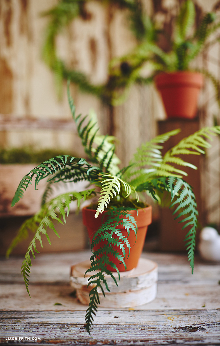 Potted Paper Fern Plants Lia Griffith