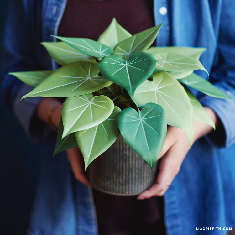 Philodendron_00006