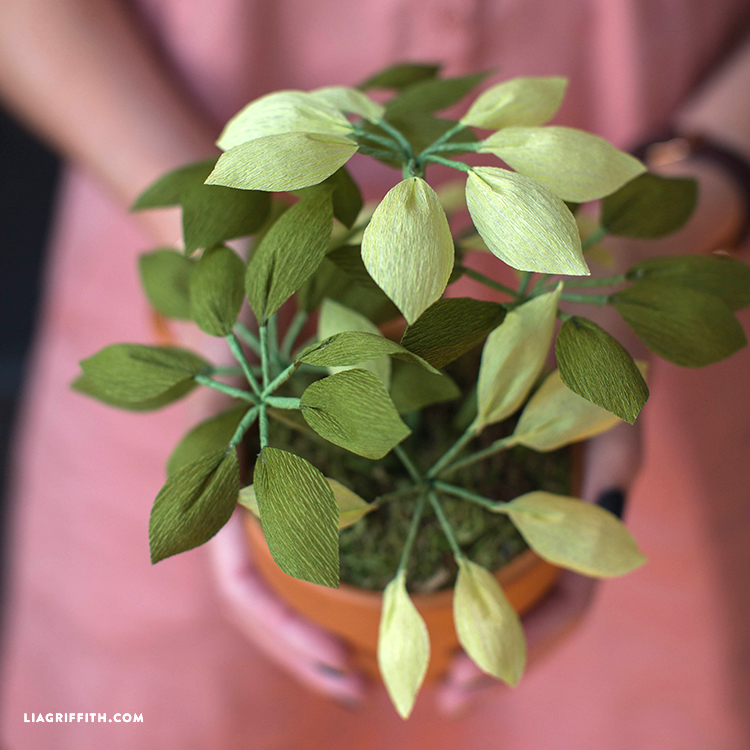 Crepe Paper Umbrella Plant