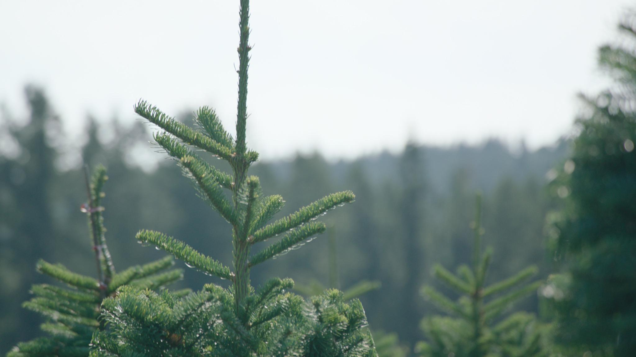 family christmas tree farm