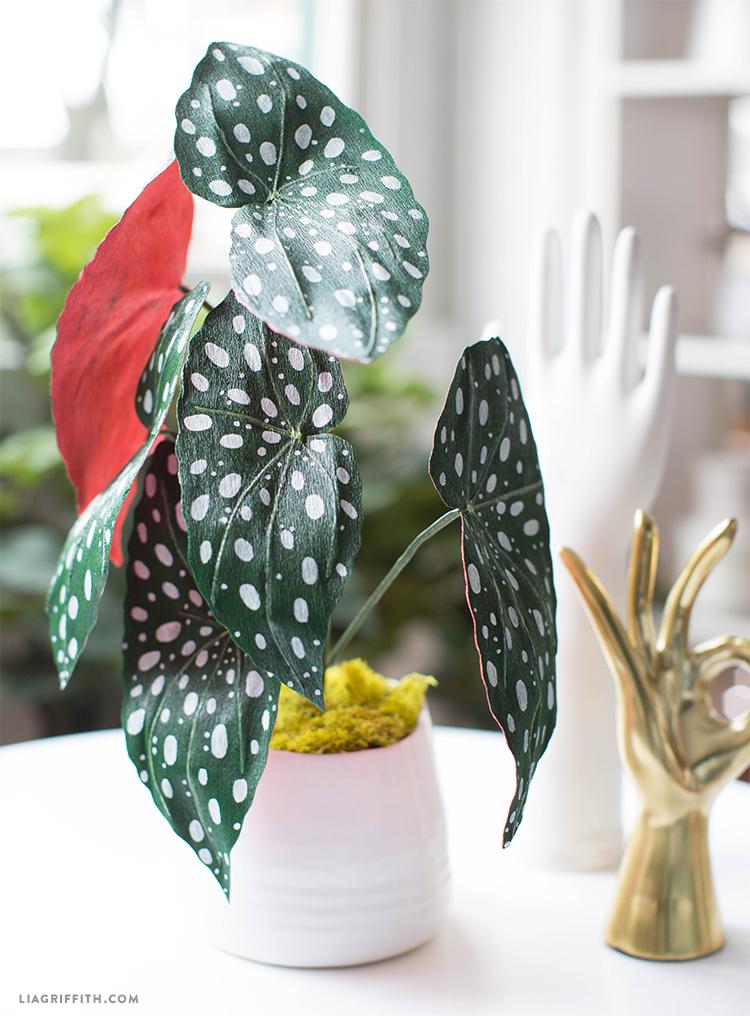 paper begonia plant