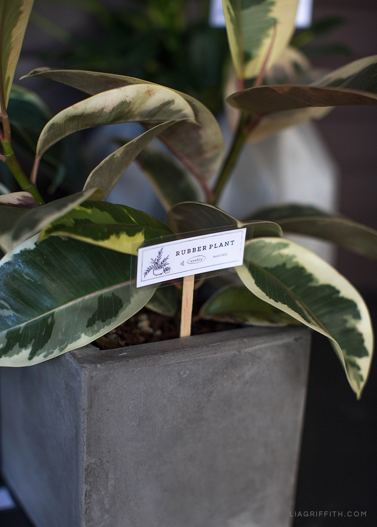 DIY plant marker for rubber plant