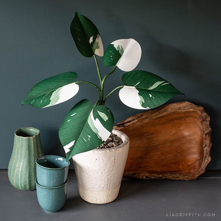 Paper White Knight Philodendron Lia Griffith