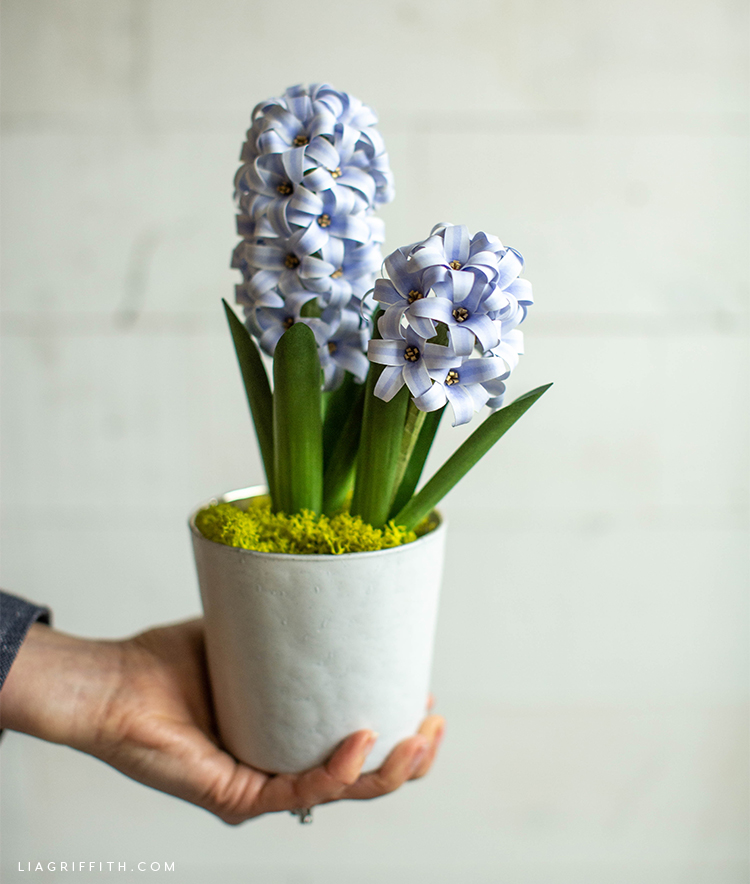hand holding potted frosted paper hyacinth flowers