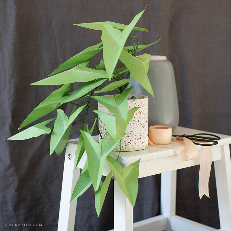 potted paper arrowhead vine