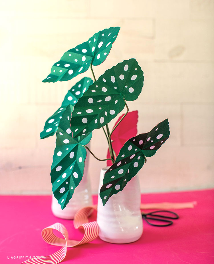 paper polka dot begonia plant with pink undersides
