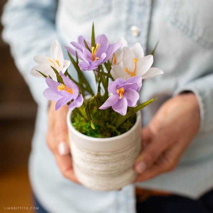 potted crepe paper crocus plant