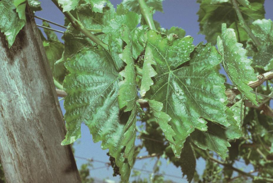SQM-Symptoms of potassium deficiency in grapevine